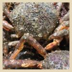 Crustacés_araignée_ fd beige